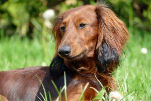 Tacskóbénulás.   Kutyatár   Kézikönyvtár - Mi a tacskó látványa